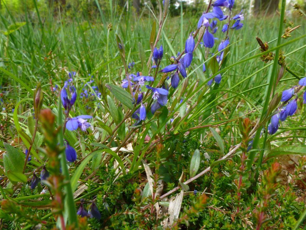Das Quendelblättrige Kreuzblümchen, eine weitere seltene Pflanze der Leitungstrasse